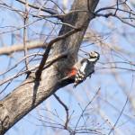 2015年1月17日「どんぐり林の冬鳥調査と観察会」(主催:どんぐりの会) 調査定点5ヶ所のうち3ヶ所でアカゲラを観察。